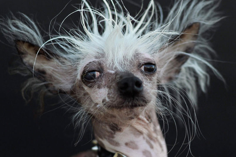 Top 10 Ugliest Dog Breeds Chinese Crested