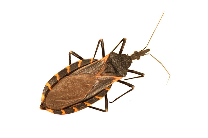 10 - Kissing Bug
