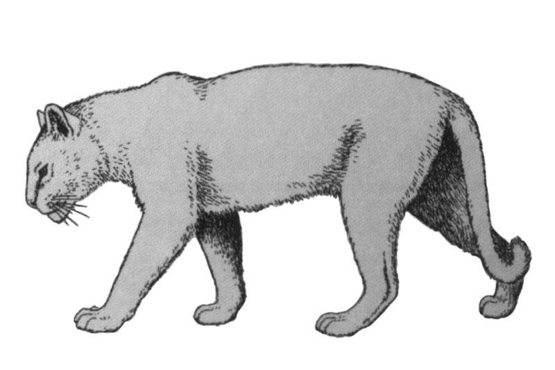 European jaguar
