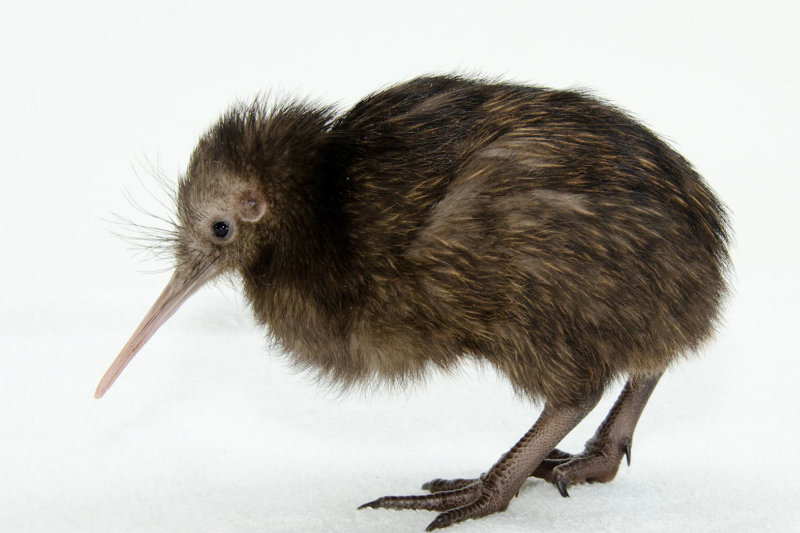 The New Zealand Kiwi bird cannot fly.