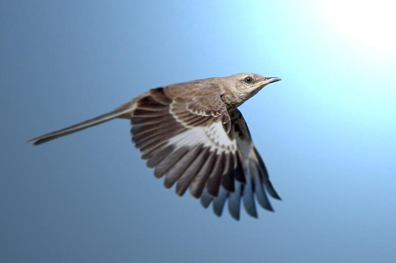 Facts About MockingbirdsFacts About Mockingbirds