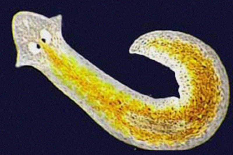 Planarian Flatworms Animals who live forever