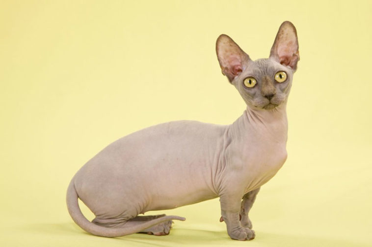 cats - sphynx wrinkled|RearFront