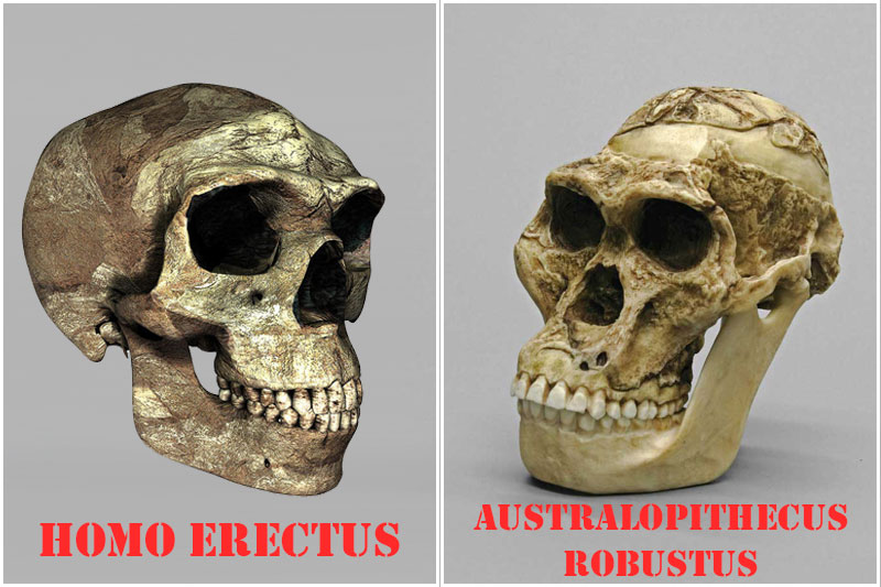 Skull of Homo erectus, versus its contemporary Australopithecus robustus