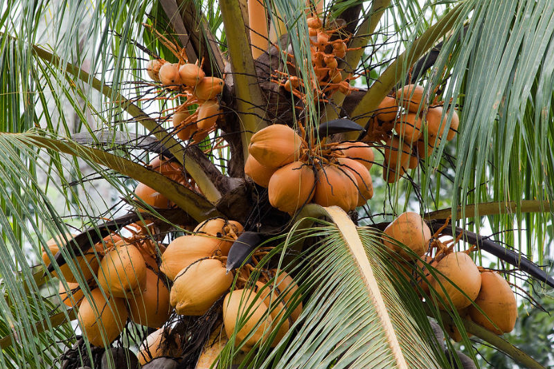 Club Direct, a travel insurance company in Britain, provides insurance plans for protection from falling coconuts.