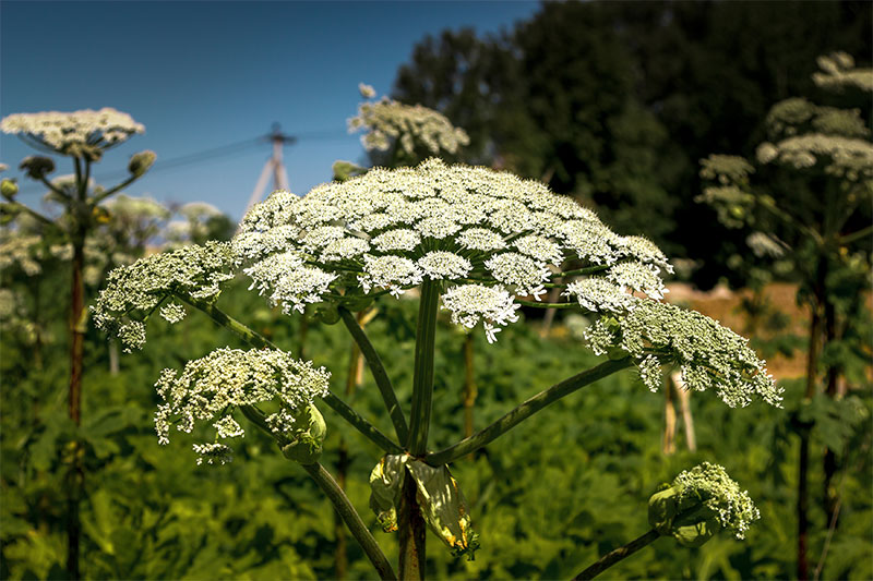 If You See Hogweed In Your Yard, You Must Call Local Officials Right Away