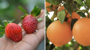 15 Fruits and Veggies you Won't Believe are Man-made