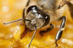If You Are Currently Undergoing Cancer Treatments, You Will Want To Learn About How Honeybee Venom Can Help You