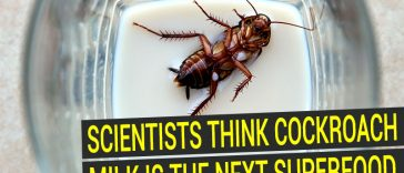 Cockroach milk could be next superfood, scientists claim