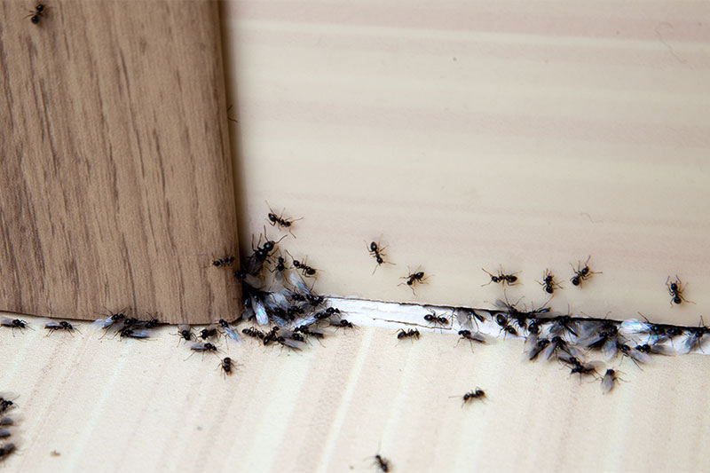 Stops Ant Infestations From Happening