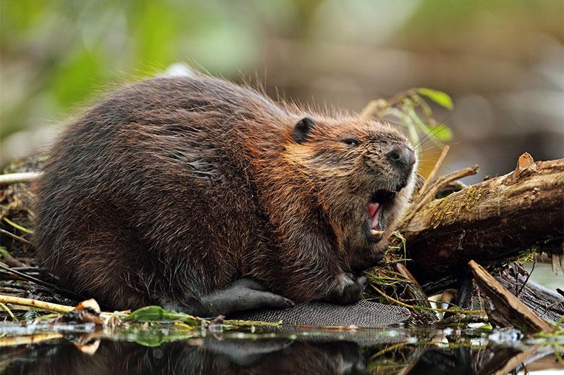 Vanilla flavored food beaver