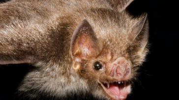 Vampire bat saliva
